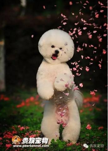 萌哒哒小可爱--贵族宠物美容学校
